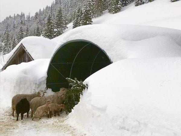 Gruppe Schafe beim Weidezelt im Winter unter meterhoher Schneedecke